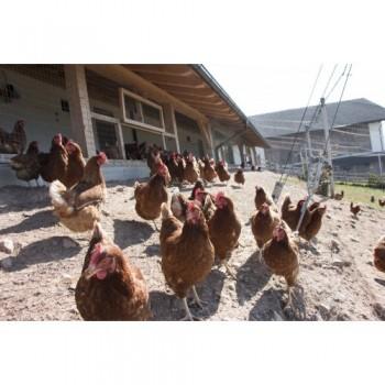 Mit frischen Eiern von Hühnern, die im Freiland leben